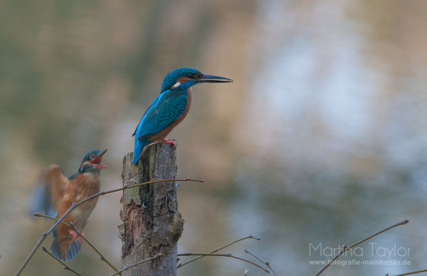 The Kingfisher and his wife I