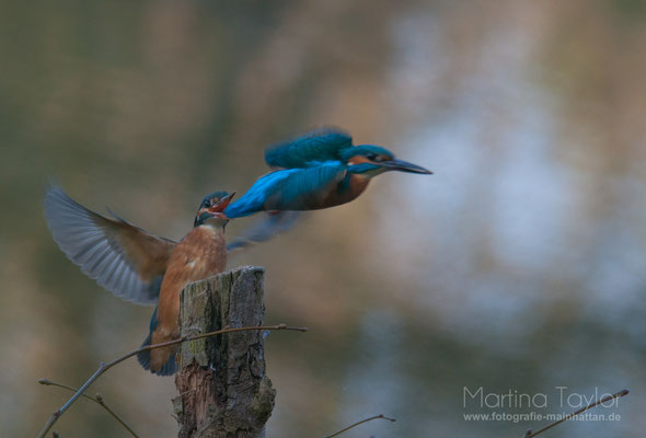 The Kingfisher and his wife II