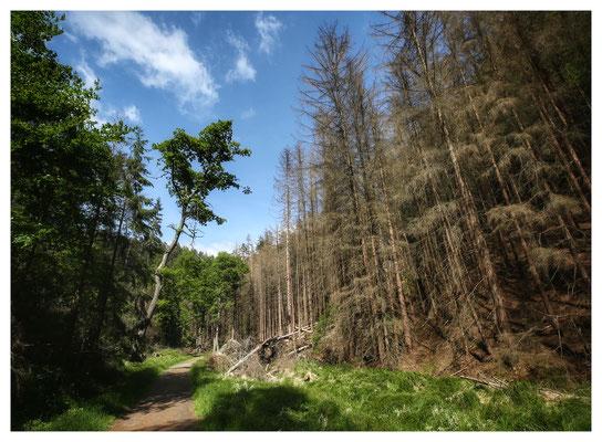 grün vs. braun - gesunde und tote Bäume im Großen Zschand