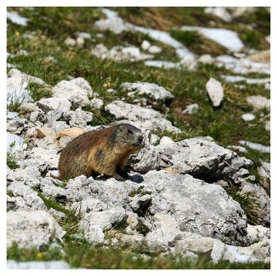 ein regelmäßiger Wanderbegleiter: das Alpenmurmeltier