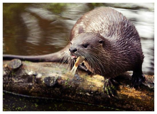 ...und hungrige Fischotter.
