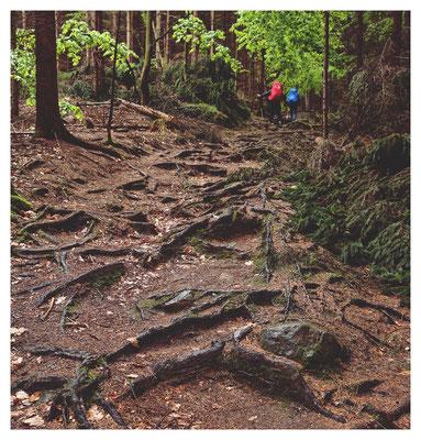 Wurzelweg - Aufstieg über den Dreisteigensteig zum Großen Teichstein