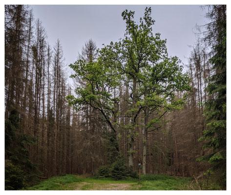 Ein Lebenszeichen: die Eichengruppe am Stimmersdorfer Weg
