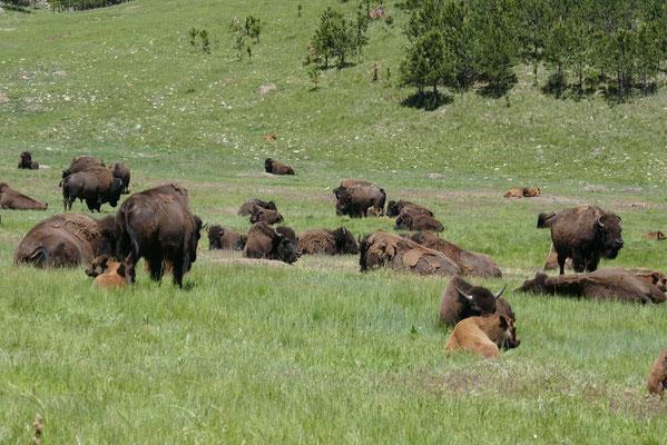 Bison-Herde