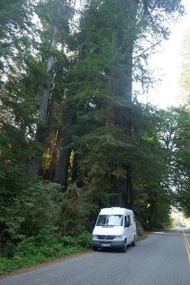 Fahrt durch riesige Redwood-Wälder