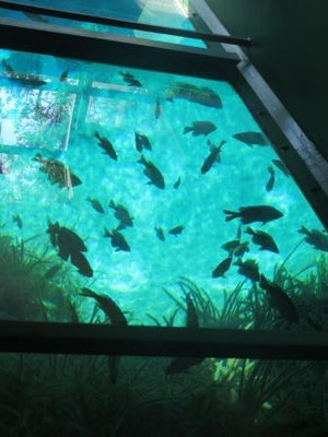 Impressionen aus dem Silver Springs State Park - Glasbodenboot