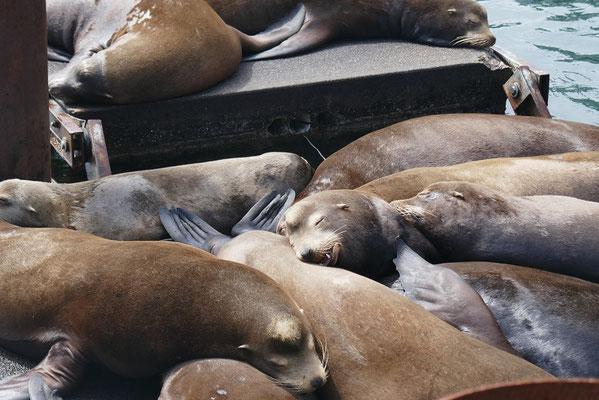 Seehunde in Newport