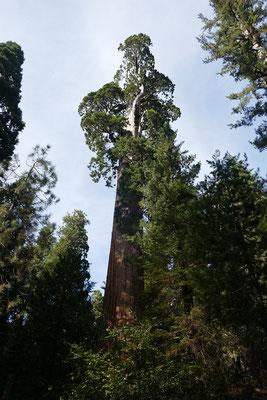 der zweithöchste Baum der Welt