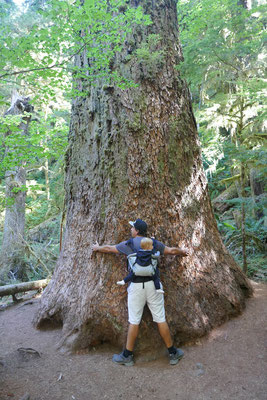 Die ersten Redwoods