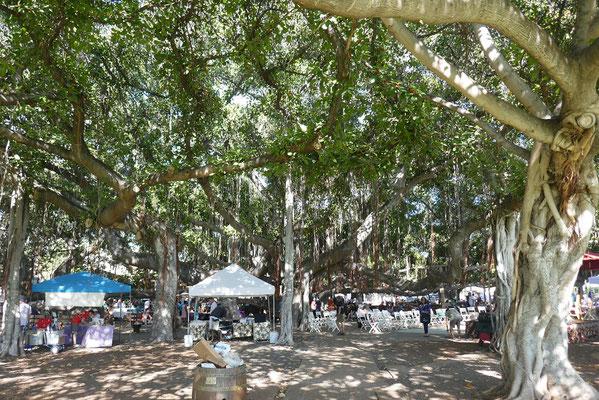 der größte Banyan-Baum der USA