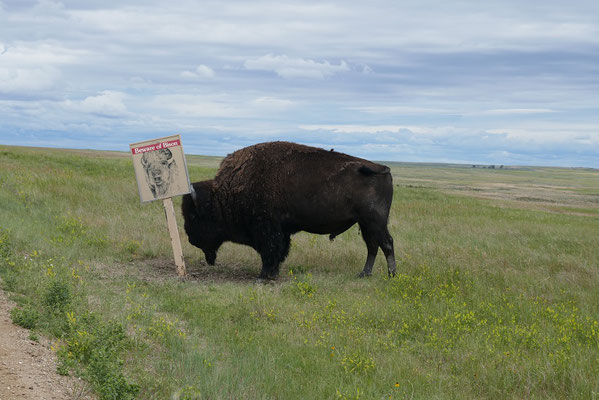 Vorsicht Bison ;)