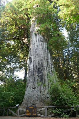 einer der größten Bäume im Park