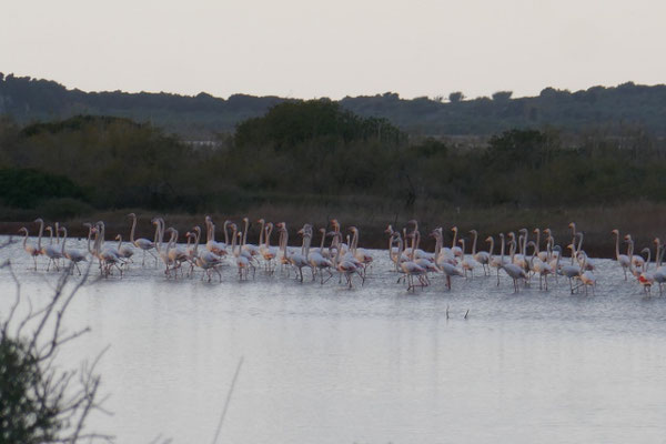 Flamingos in der Gialova Lagune