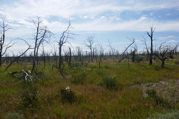 Zeugen vergangener Waldbrände