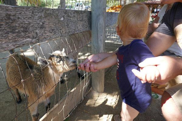 Ziegen füttern auf der Avila Valley Farm