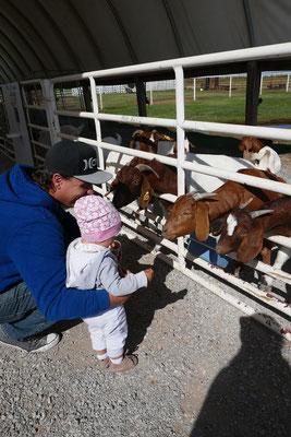 Ziegen füttern auf der P_Barn Farm