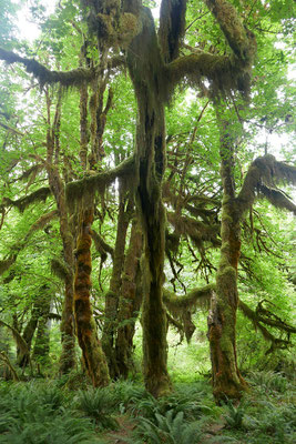 Hoh River Rainforest