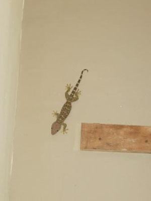 Unser Haus-Gecko :)