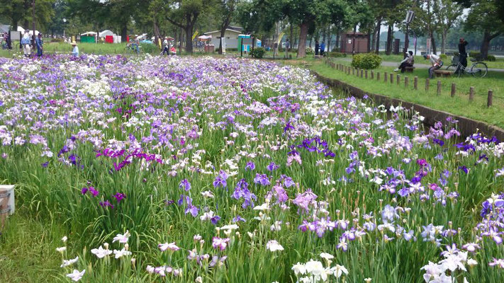 隣接する水元公園、菖蒲