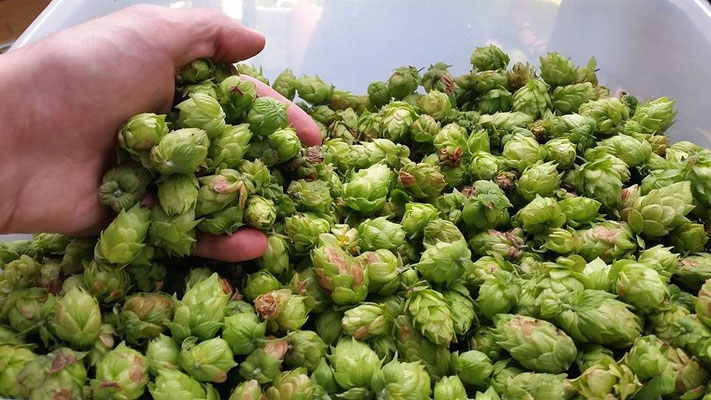 I love the smell of Fresh, fragrant, amazing hops!  I grew these hops in my yard.