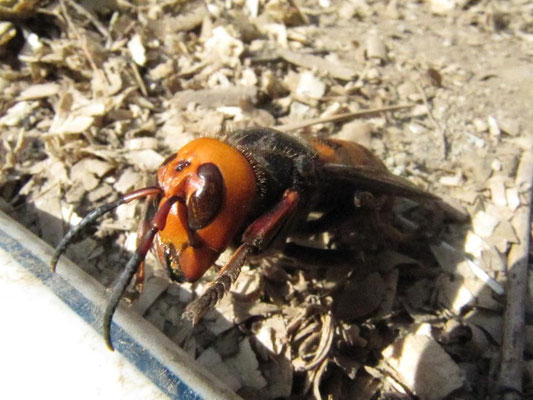 This is the most dangerous animal in Japan!  Be careful! オオスズメバチ Asian Giant Hornet!
