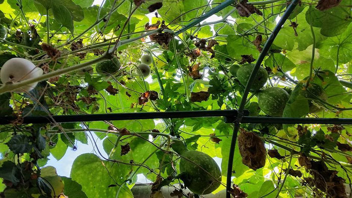Bottle gourds, or ひょうたん, grow rapidly in our garden!  These plants are 3 meters tall!