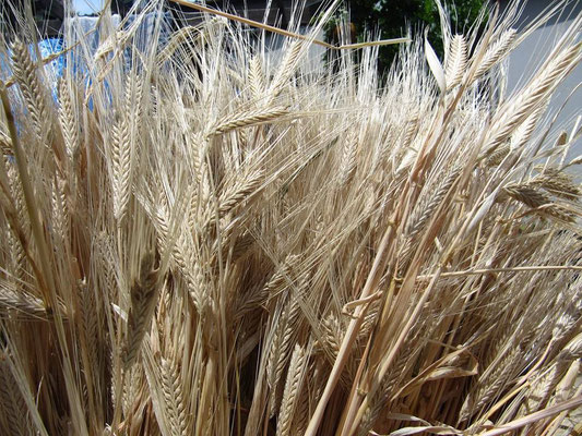 I grew barley in my garden!  You can make beer from this!