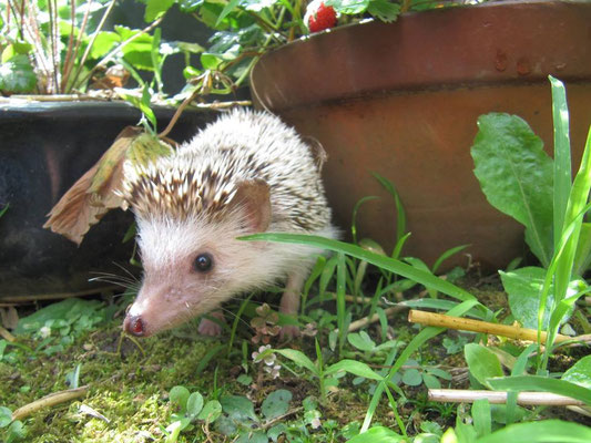 A hedgehog searches for snacks in the garden.