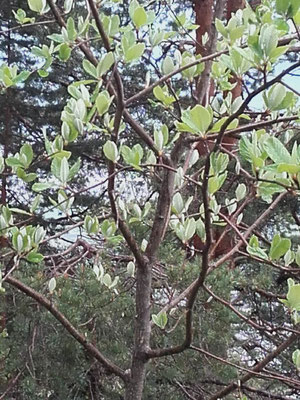 Mehlbeere (sorbus area)