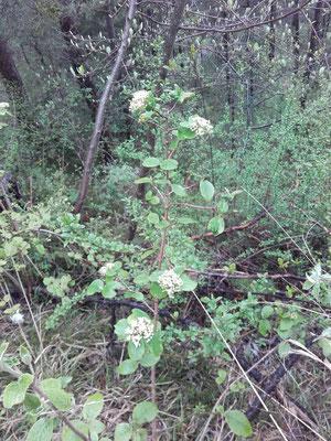 Schneeball (fiburnum lantana)