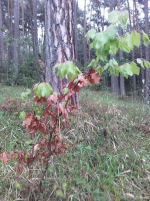 Rotbuche mit Austrieb und alten Blättern (fagus silfatica)