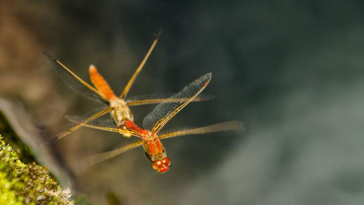 Pimpernde Libellen