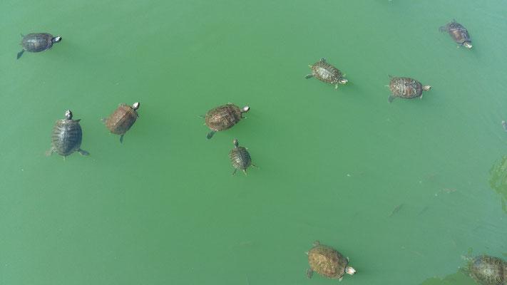 Schildkröten-Teich im Central Park