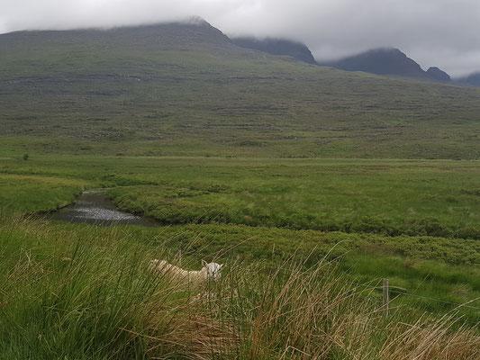 Schafe in Schottland - allerdings versteckt!