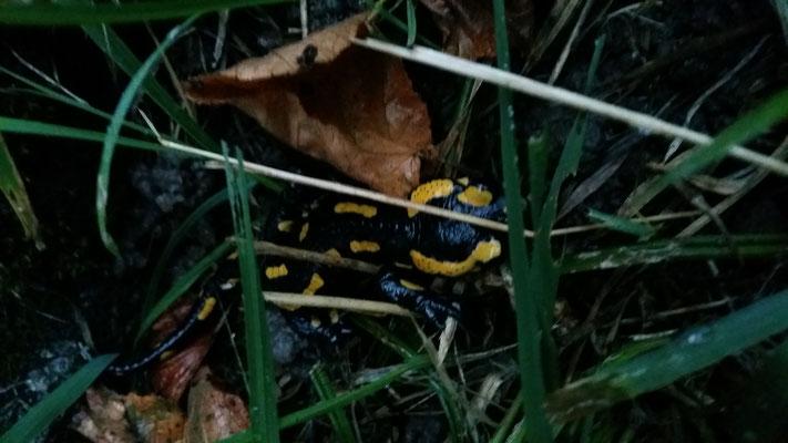 Ein Salamander in der Nähe von Uettligen