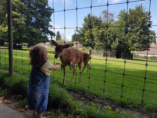 Tierpark Langenthal - bi de Sikahirsche