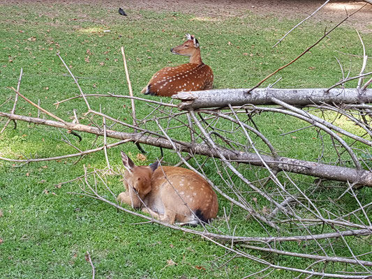 Nachwuchs bei den Sikahirschen im Tierpark Langenthal