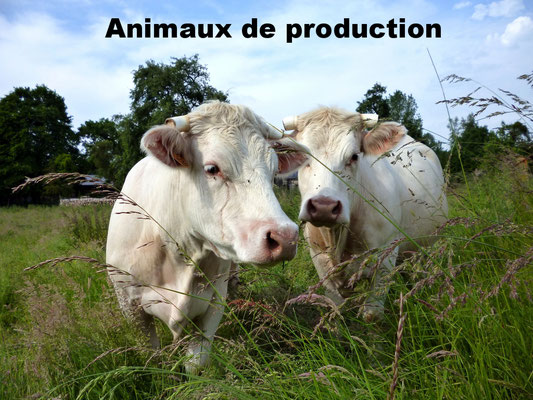 Animaux de production