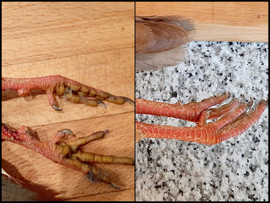 Tarso perdiz adulta primera imagen izq, macho con presencia de espolones, tarso adulta imagen dech, sin presencia de espolones.