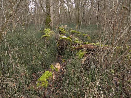Die alten, umgestürzten Baumriesen werden wieder zu Erde