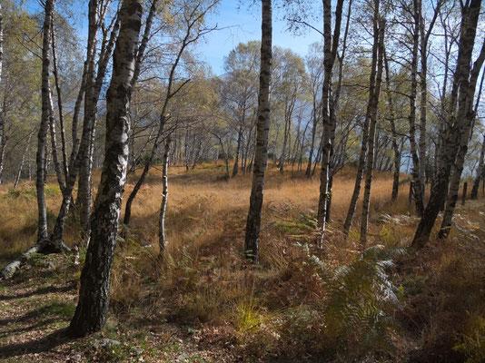 Im Birkenwald in der Nähe von Troggiano