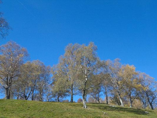 Herbstliche Birken