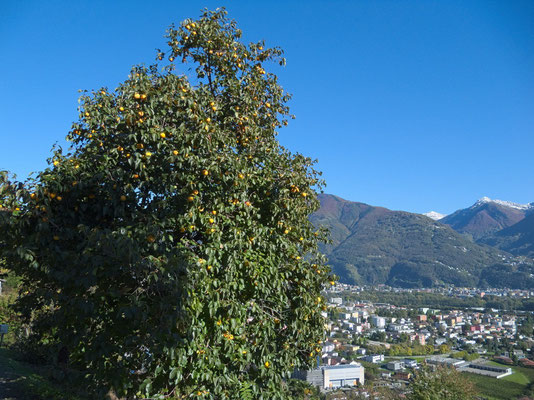 Kaki-Baum