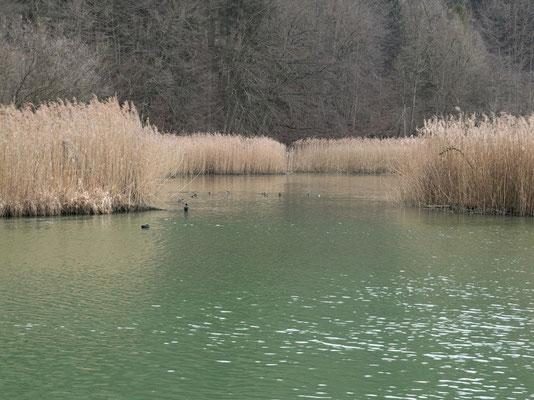 Schilf im Lac de Pérolles