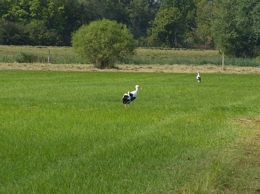 Aus dem nahen Freiamt (Aargau) kommen die Störche gerne hierher, um Nahrung zu suchen