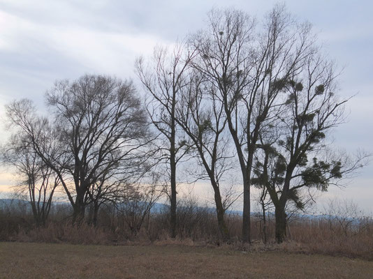 Die Bäume sind voll von Misteln