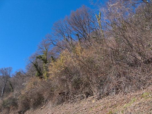 dichte Vegetation am Sonnenhang über Gandria