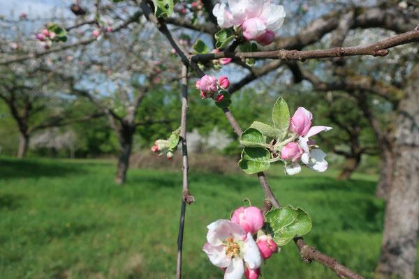 Blühende Bäume in Goldbach 19.04.2020
