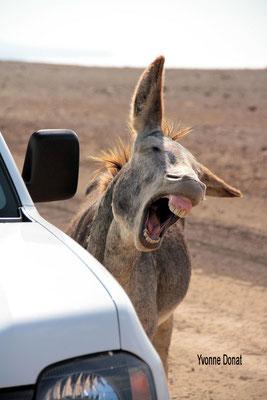 Wegelagerei auf der Piste oder lacht er über das Auto?