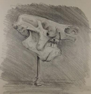 Anémone, Megatherium americanum